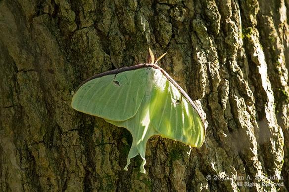 HNWR Moth Luna_8022a