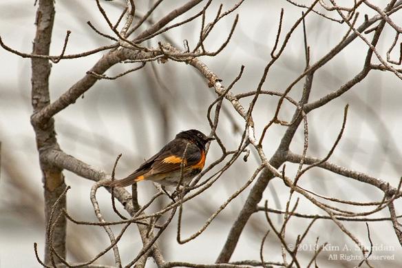 MI LSP Lost Lake-Island Trail Bird_6213a