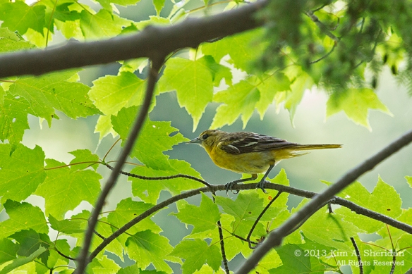 MI LSP Lost Lake-Island Trail Bird_6402a