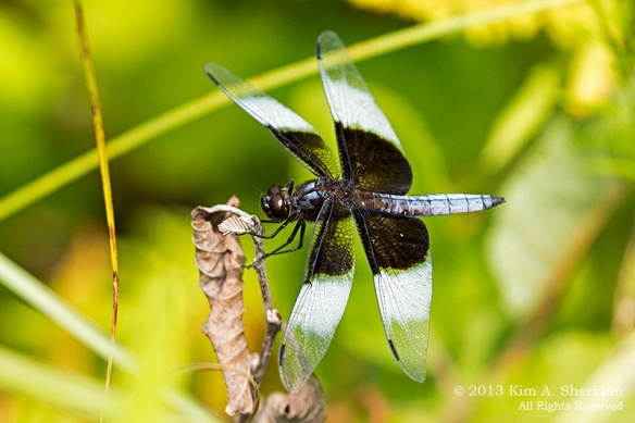 MI LSP Lost Lake-Island Trail Widow Skimmer_6452a