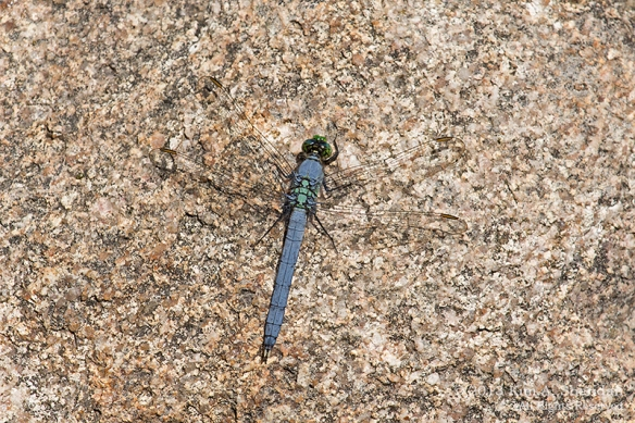MI LSP Sable River Trail E Pondhawk_7051a