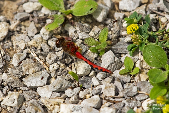 MI Mitchell SP Ruby Meadowhawk Dragonfly_7365a