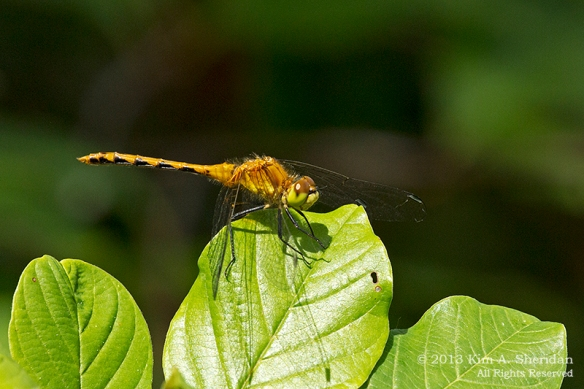 MI Mitchell SP Ruby Meadowhawk Dragonfly_7458a
