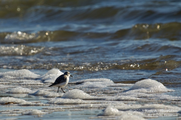 Ocean City Sanderling_1191 ACS