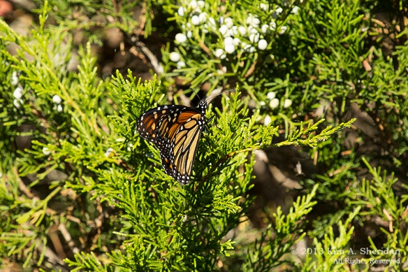 Cape May Lily Lake_4811 a