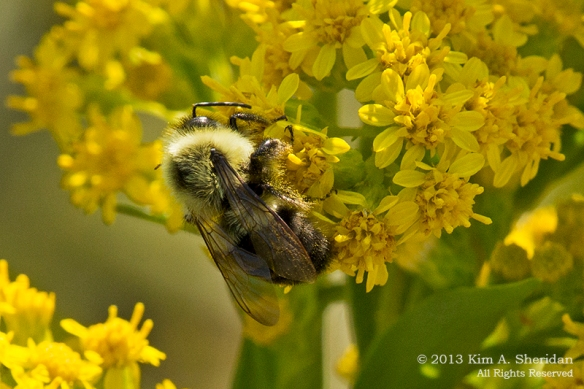 Cape May Point SP Bee_7020 a