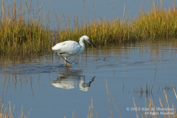 Cape May Skimmer Egret_6493 a