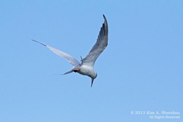 Forsythe NWR Bird_6188 a