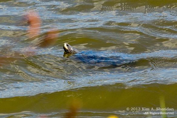 Forsythe NWR Turtles_6197 a