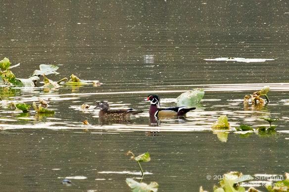 HNWR Wood Duck_9051 acs2