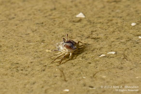 OC Corsons Fiddler Crabs_4533a