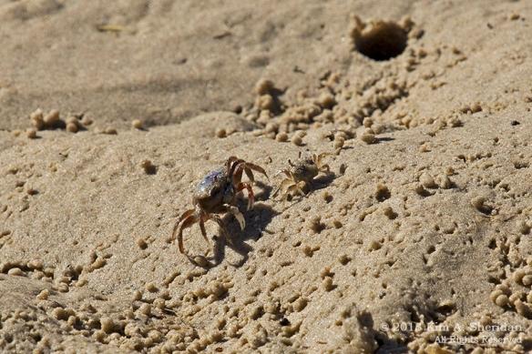 OC Corsons Fiddler Crabs_4621a