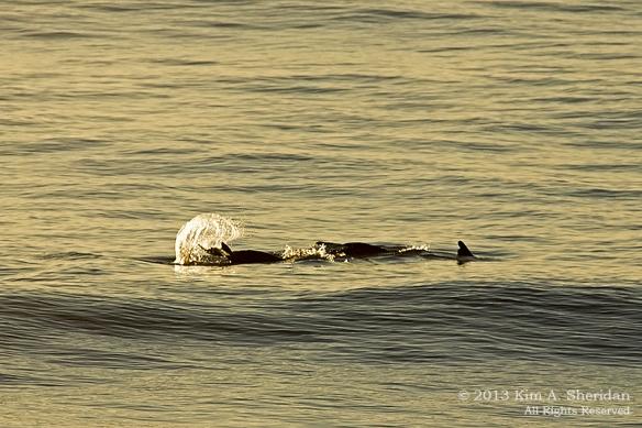 OC Dolphins_3656 a