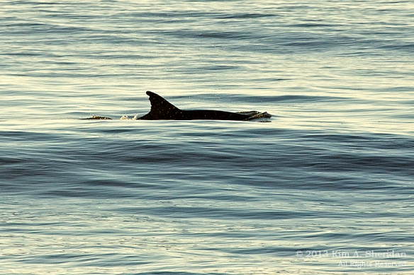 OC Dolphins_3670 a