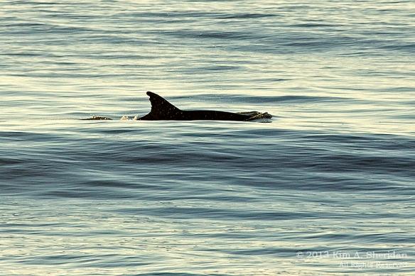 OC Dolphins_3670 a