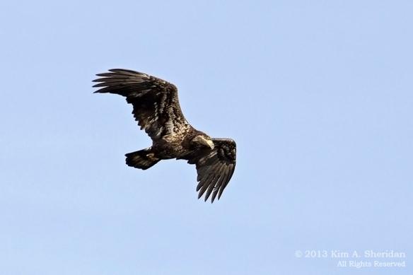 Conowingo Eagle_3877a