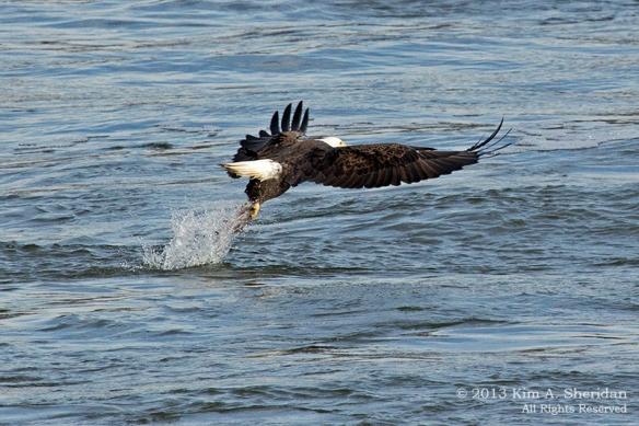 Conowingo Eagle_4255a