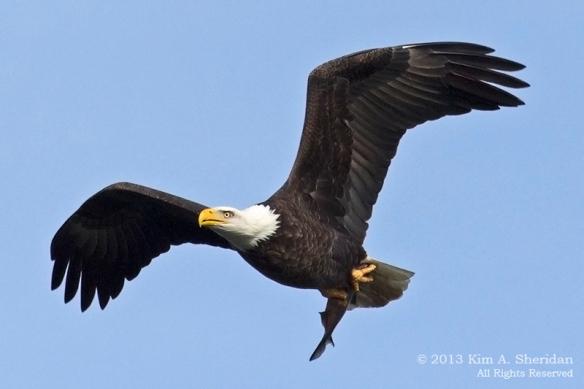 Conowingo Eagle_4282a