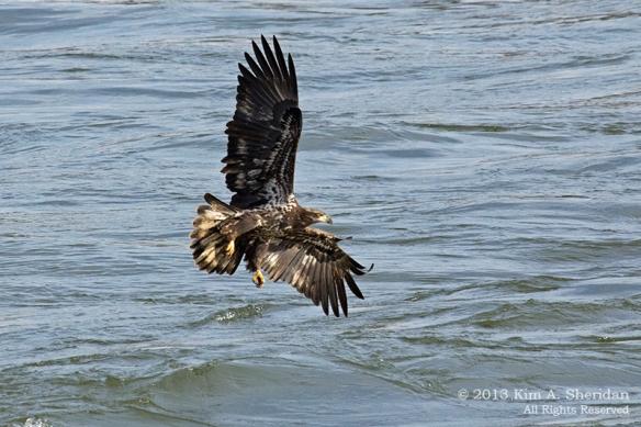 Conowingo Eagle_4354a