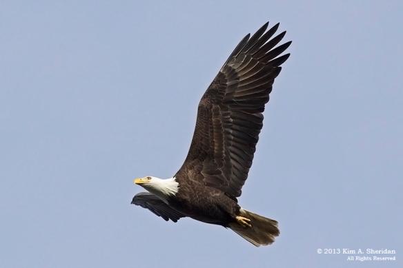 Conowingo Eagle_4423a