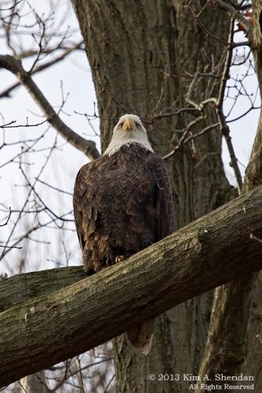 Conowingo Eagle_4440a