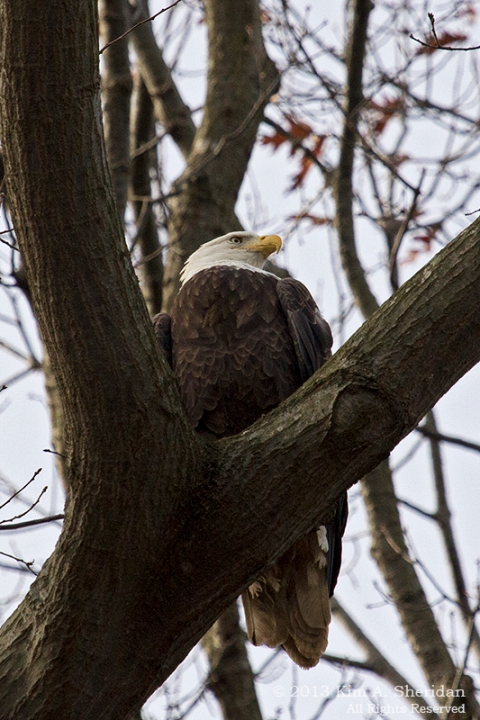 Conowingo Eagle_4490a