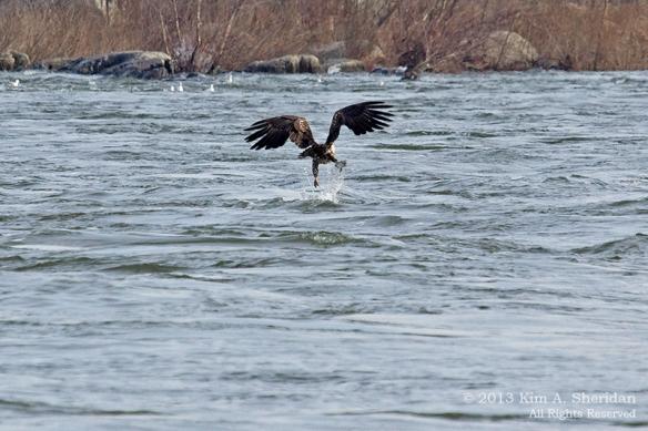 Conowingo Eagle_4615a