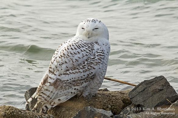 1 Snowy Owl_5105a