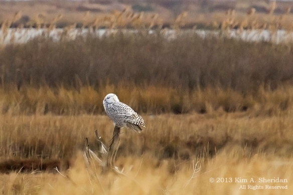Forsythe Snowy Owl_4764a