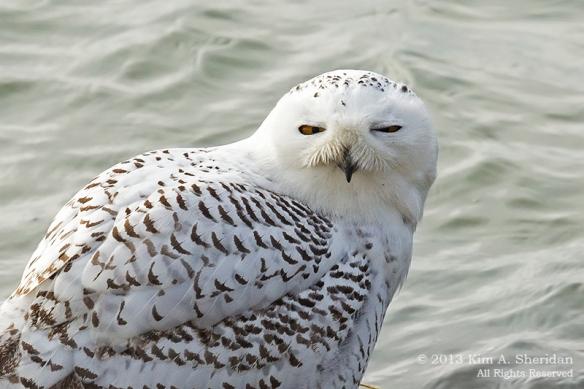 Forsythe Snowy Owl_5205a