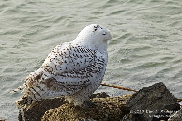 Forsythe Snowy Owl_5214