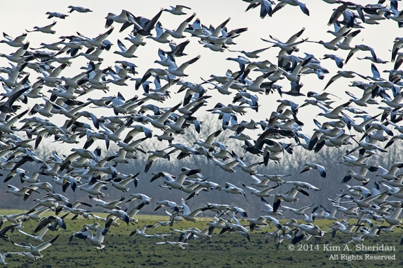 TX HagermanSnow Geese_6256a