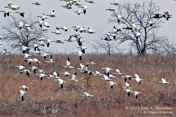 TX HagermanSnow Geese_6340a