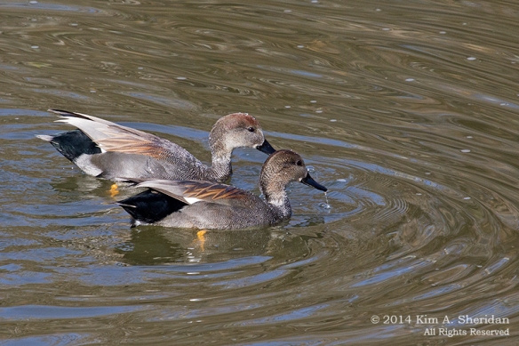 TX White Rock Lake Gadwall_7939a