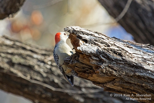 TX White Rock Lake Red-bellied Woodpecker_7816a