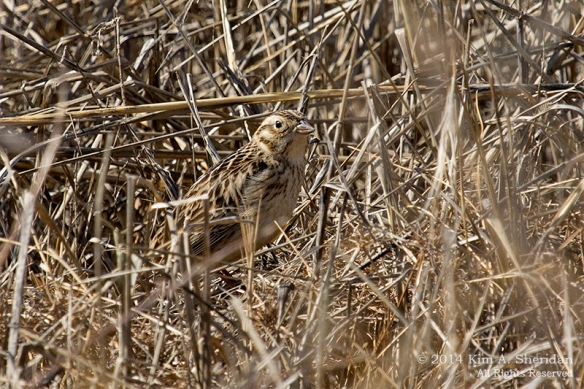 2 Smith's Longspur at  Stone Harbor Point_4421acs