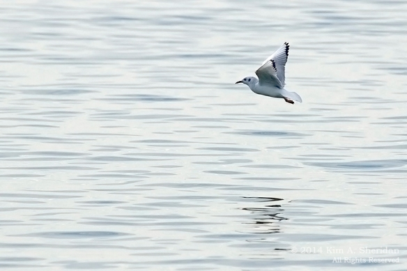 3 Bonaparte's Gull at Higbee_4492 acs