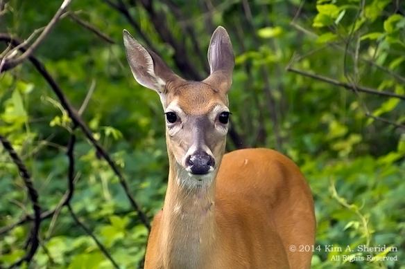 HNWR Deer_7189 ASC