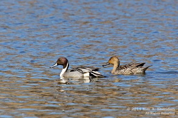 HNWR Duck Pintail_6630 acs