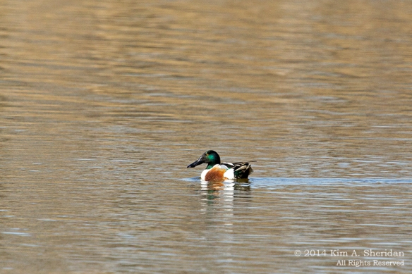 HNWR Duck Shoveler_6596 acs