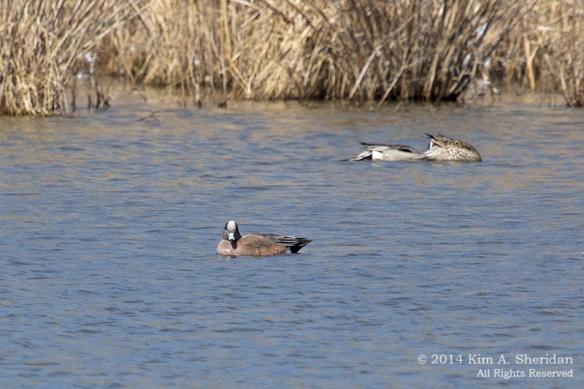 HNWR Duck Wigeon_6638 acs