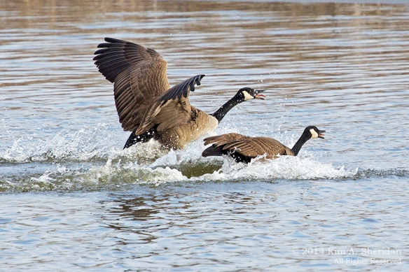 HNWR Goose_5184 acs2