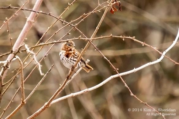 HNWR Sparrow Fox_6514 acs