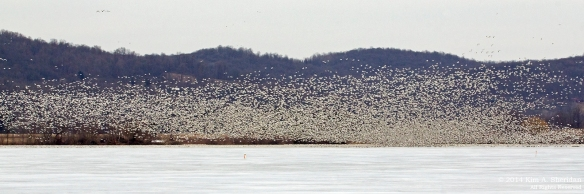 Middle Creek Snow Geese Distant_5773 acs3