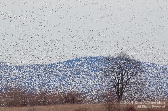 Middle Creek Snow Geese Flight Mass_6014 a