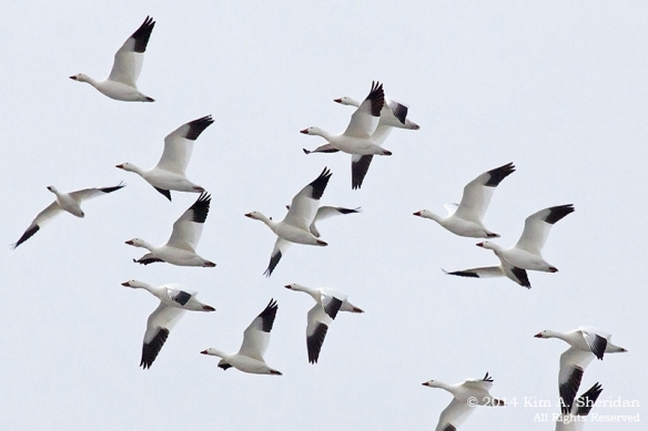 Middle Creek Snow Geese Flight Skein_6157 a