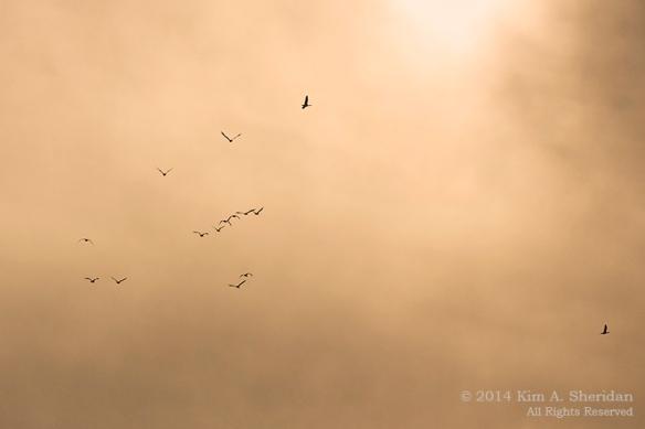 Middle Creek Snow Geese Flight Skein_6349 asc2