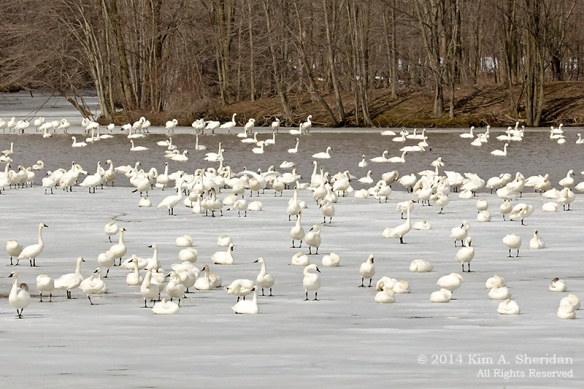 Middle Creek Tundra Swan_5721 acs