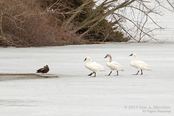 Middle Creek Tundra Swan_5892 a
