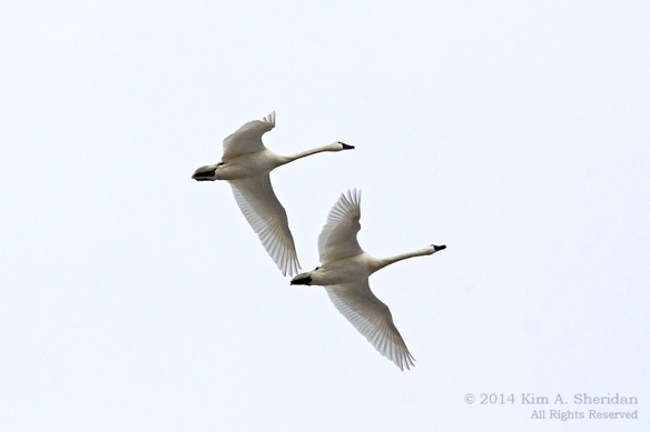 Middle Creek Tundra Swan_5918 a
